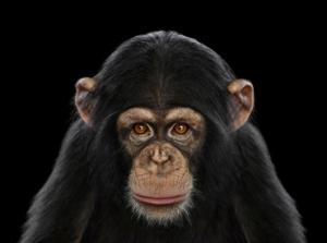 Chimpanzee pic