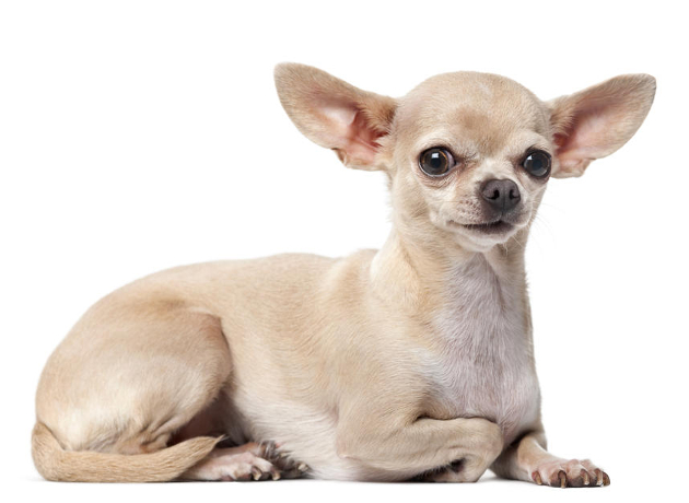 Chihuahua_med