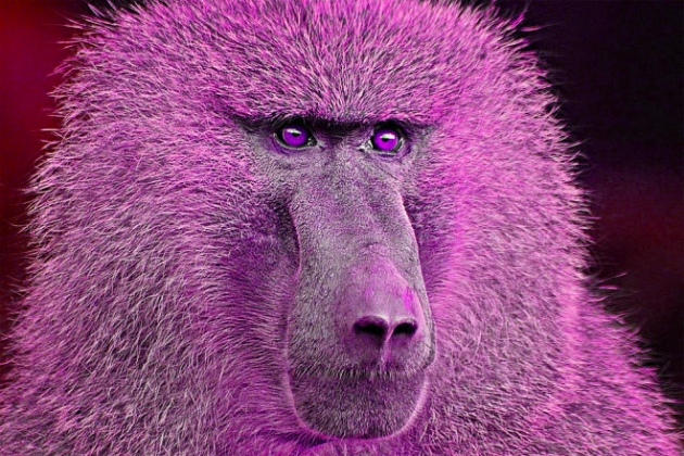 baboon-660x440_edit