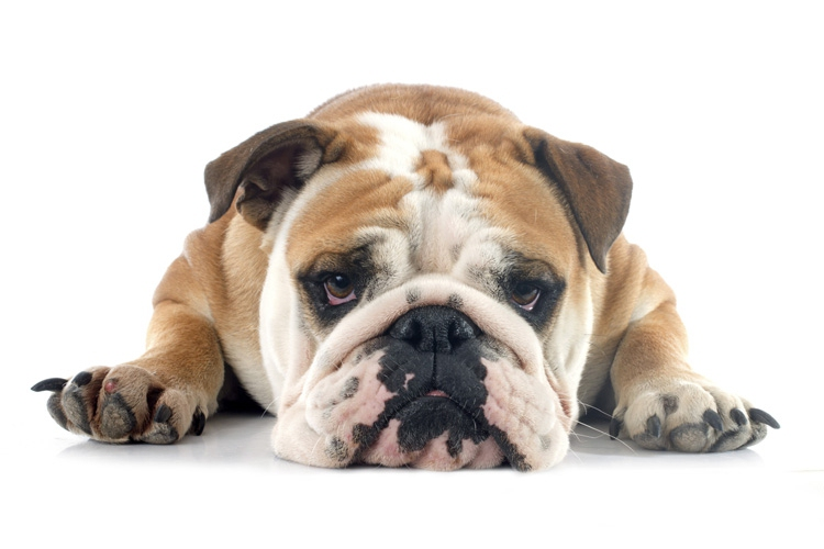 Sad-bulldog